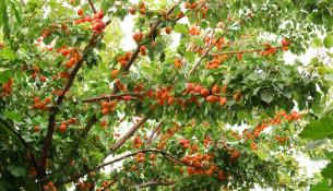 Albicocca vesuviana