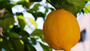 Limoni di Sorrento
