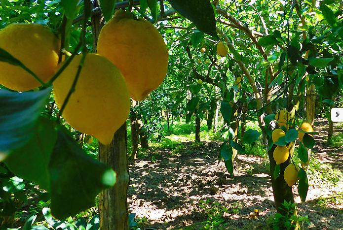 Limoni Sorrentini